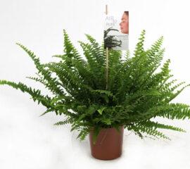 Nephrolepis Zahradnictvi Líbeznice