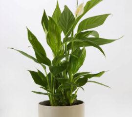 Spathiphyllum Zahradnictvi Líbeznice