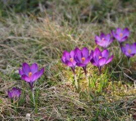 Krokus fialový