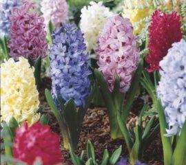 Hyacinty mix barev