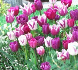 Tulipány Mix-blue ribbon