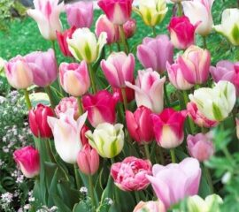 Tulipány Mix-sweet pink