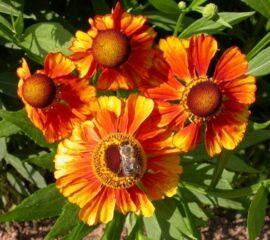 "Helenium autumnale ""Flammenrad"""