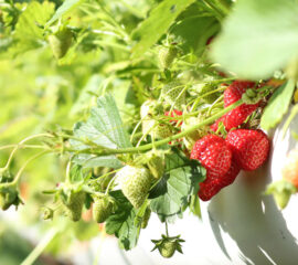 Jahody z vaší zahrady