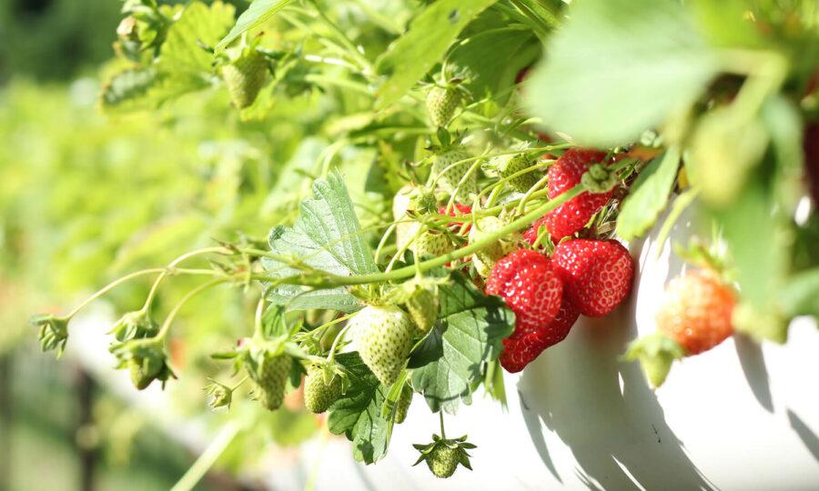 Výtečné jahody z vlastní zahrady