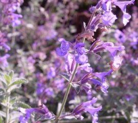 "Nepeta racemosa ""Walker´s Low"""