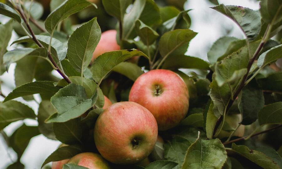 Podzimní výsadba ovocných stromů