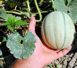 Roubovaná zelenina - vodní meloun