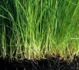 Kořenový systém zdravého trávníku