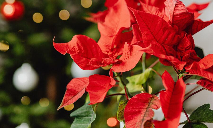 Péče o Vánoční hvězdu