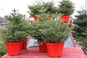 Vánoční stromek, který poroste