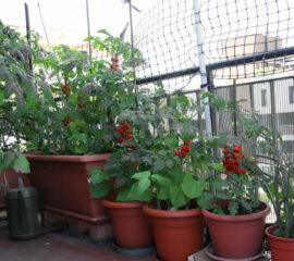 Rajčatana balkóně
