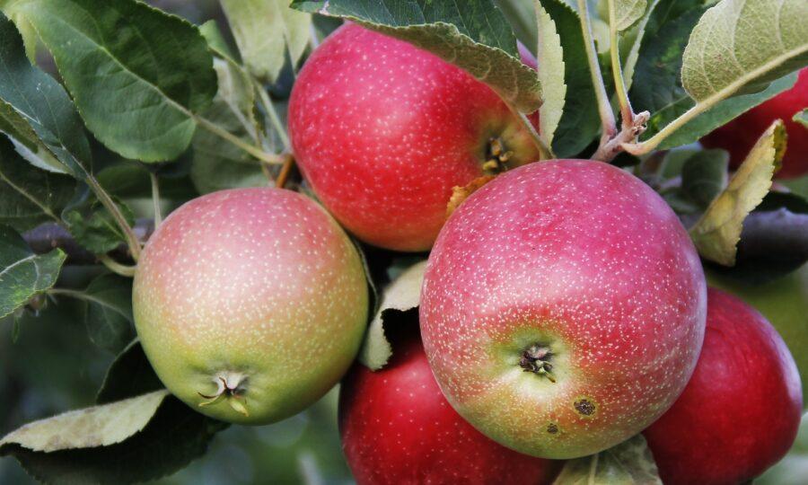 Jabloň – choroby a škůdci