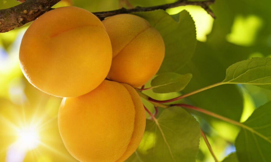 Meruňka – choroby a škůdci