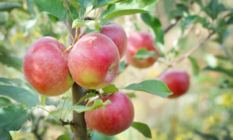Prostokořenné ovocné stromy a keře jsou již na prodejně!