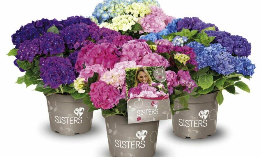 Hortenzie Three sisters®