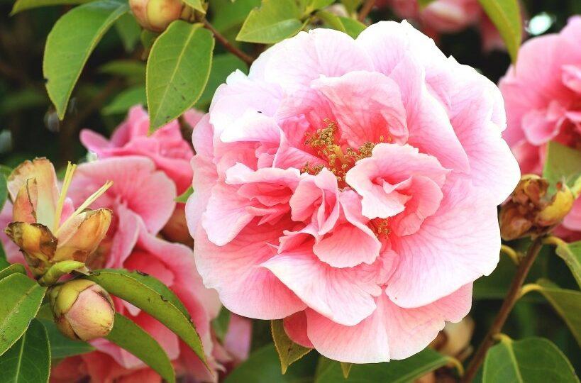 Camelia japonica – zimní čajová růže